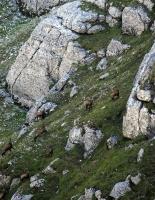 black-goats